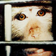 ניסויים בקופים