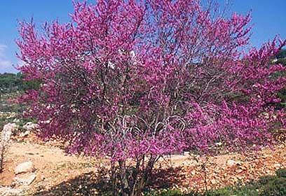 כליל החורש (צילום: דפנה מרוז, החברה להגנת הטבע) (צילום: דפנה מרוז, החברה להגנת הטבע)
