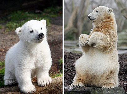 מגור דחוי לכוכב בינלאומי, קנוט היה דוב הקוטב המפורסם בעולם (צילום: איי אף פי) (צילום: איי אף פי)