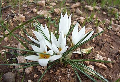 כמו גביעים לבנים המבצבצים מהאדמה. כרכומי חורף (צילום: שרה גולד) (צילום: שרה גולד)