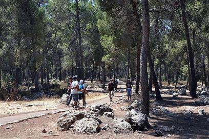 טיול משפחות בין עצי האורן. יער עמינדב (צילום: רונית סבירסקי )