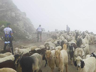גם הכבשים תקעו אותנו. אחד המכשולים בדרך במעלה הרוטאנג  (צילום: צדוק יחזקאלי) (צילום: צדוק יחזקאלי)