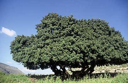 """הפרי מתמלא בצוף דבשי. עץ החרוב (צילום: שי גינות, קק""""ל) (צילום: שי גינות, קק"""
