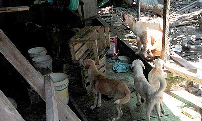 הכלבים המורעבים. ככל הנראה טרפו גם שניים מחבריהם (צילום: רויטרס) (צילום: רויטרס)