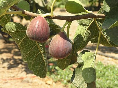 פירות מתוקים שגדלים פרא. תאנים  (צילום: יעל צור, אתר מפה  ) (צילום: יעל צור, אתר מפה  )