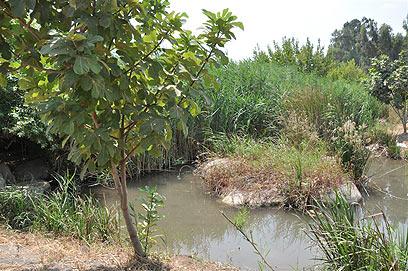 צמחיית קנה ובוסתן עצי פרי. נחל חרוד (צילום: רונית סבירסקי) (צילום: רונית סבירסקי)