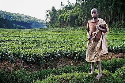 תה הוא מוצר הייצוא מרכזי ברואנדה. באזורי גידולו, ניתן לראות שדות ירוקים עד האופק (צילום: אודי גורן)