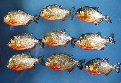 חלק מדגי הפיראנה שהוחרמו (צילום: דוברות: משרד החקלאות) (צילום: דוברות: משרד החקלאות)