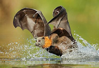 הצילום המנצח. עטלף לוגם מים בתעופה (צילום: עופר לוי) (צילום: עופר לוי)