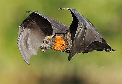 לוגם במעוף. עטלף פירות אפור ראש (צילום: עופר לוי) (צילום: עופר לוי)