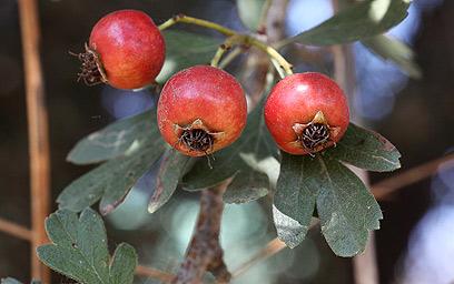 פירות עוזרר אדומים - טעימים ומחזקים את הגוף (צילום: אסף רונן) (צילום: אסף רונן)