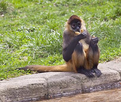 קוף עכביש בגן החיות של הסנטרל פארק (צילום: shutterstock) (צילום: shutterstock)