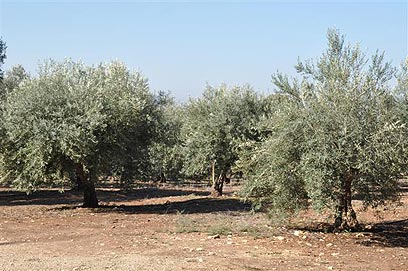 כרמי הזיתים בשטח החקלאי  (צילום: רונית סבירסקי)