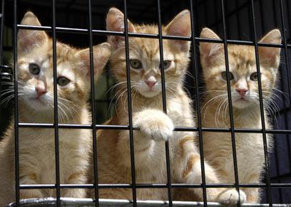חתולים במקלט חיות. המתה אם לא מאמצים (צילום: Shutterstock) (צילום: Shutterstock)