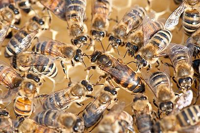 מערך מדהים של פרומונים. דבורים (צילום: shutterstock)