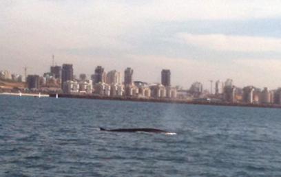 הלוויתן מול אשדוד ביום שישי (צילום: חיים דיאמנט) (צילום: חיים דיאמנט)