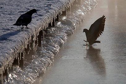יונים רצו ללגום ממי אגם בסנט פטרבורג. במינוס 23 מעלות, זה קשה (צילום: AP) (צילום: AP)