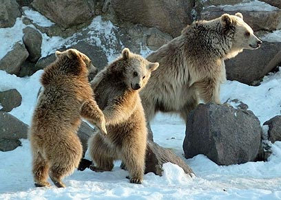 דובים משתעשעים בשלג של אנקרה, טורקיה (צילום: AP) (צילום: AP)