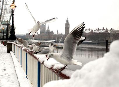 ציפורים בלונדון פורשות כנפיים אל הביג-בן (צילום: AP) (צילום: AP)