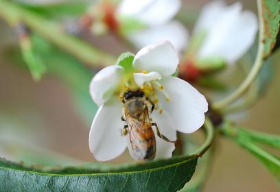 דבורים. קיום של צמחים רבים תלוי בהן (צילום: סימה קגן) (צילום: סימה קגן)