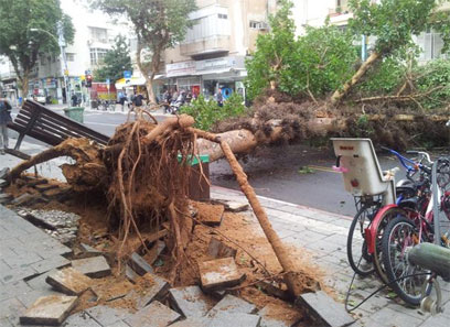 העץ שקרס בתל-אביב ולקח את הספסל איתו (צילום: שחר אלעד   )