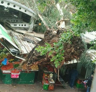 עץ שנפל בשוק בפתח תקווה (צילום: יעל בן יהודה)
