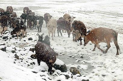בעלי החיים בורחים מהסופה כדי למצוא קצת עשב (צילום: אביהו שפירא) (צילום: אביהו שפירא)