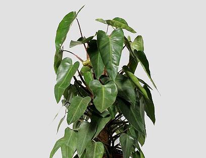 צמח ממשפחת הפילדנדרומים (צילום: באדיבות משתלת הסוכה-בית ירוק) (צילום: באדיבות משתלת הסוכה-בית ירוק)