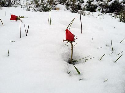 כלנית בשלג בגוש עציון (צילום: רונן ביתן)