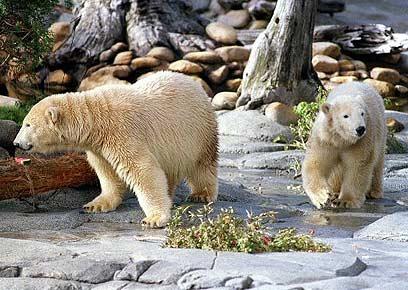 העולם מתחמם ודובי הקוטב סובלים (צילום: איי אף פי) (צילום: איי אף פי)