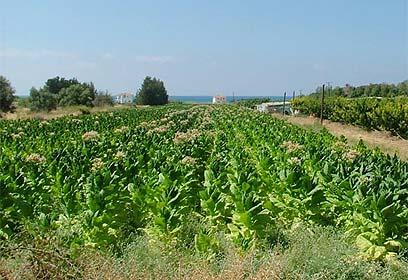 שדה טבק בקפריסין. ארכיון (צילום: עומר הכהן) (צילום: עומר הכהן)