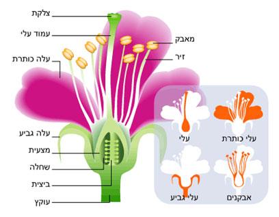 מבנה הפרח