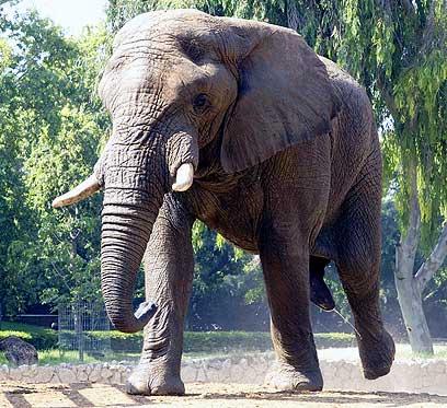 """צעד למקום השני. יוסי הפיל (צילום: טיבור יגר, ספארי ר""""ג) ()"""