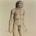 Homo erectus, האדם הזקוף