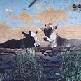 פרות קדושות