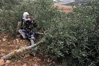 עצי זית שנכרתו בכפר לובן א-שרקייה (צילום ארכיון: AP) (צילום: AP) (צילום: AP)