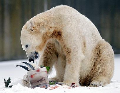 דוב בוגר, מעט לפני מותו (צילום: AP) (צילום: AP)