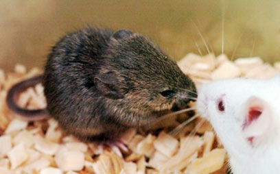 Tested on mice in the lab (Photo: AP)