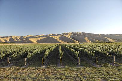 מנפקים שם יינות עם ניחוחות של פירות טרופיים. ניו זילנד (צילום: mct)