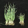 צימוח של צמחי כרשה בנוכחות מיקוריזה (AMF+) לעומת ביקורת ללא מיקוריזה (AMF-)