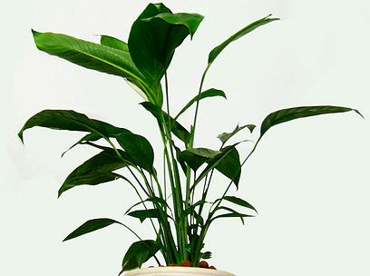ספטיפיליום  (צילום: באדיבות משתלת הסוכה-בית ירוק) (צילום: באדיבות משתלת הסוכה-בית ירוק)