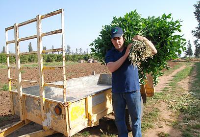 ההדרים ישראל עושים קאמבק. קובי ברגמן (צילום: ג'ורג' גינסברג)
