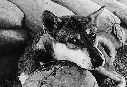 החיילים סירוב לנטוש את הכלבים בשדה הקרב בוויטנאם (צילום: gettyimages) (צילום: gettyimages)