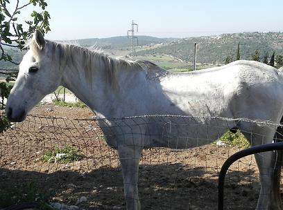 ותכירו את שמשון עצמו במאהל של הבירנבאומים (צילום: זיו ריינשטיין) (צילום: זיו ריינשטיין)