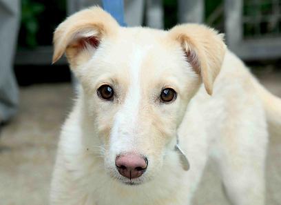 """עשרות אלפי כלבים מומתים מדי שנה (צילום:  צער בעלי חיים ת""""א - בישראל)"""