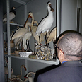 צילום:  Committee Against Bird Slaughter