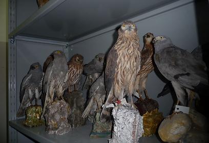 מדף של פוחלצי דורסי יום במוזיאון הטבע הלאומי במלטה (צילום:  Committee Against Bird Slaughter) (צילום:  Committee Against Bird Slaughter)