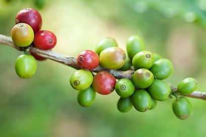ככה הוא נראה לפני הקלייה. קפה ירוק (צילום: shutterstock) (צילום: shutterstock)