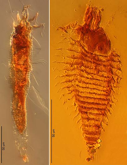 נלכדו במלכודת העתיקה בעולם. החרקים שהתגלו (צילום: AP)