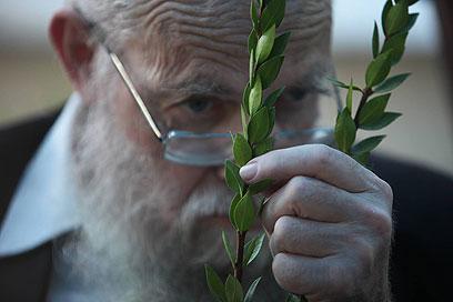 מסמלים את אחדות העם. איש בוחן לולב בירושלים (צילום: גיל יוחנן)